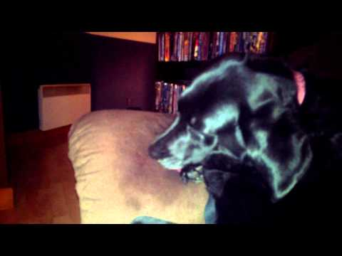 A dog licking a couch.