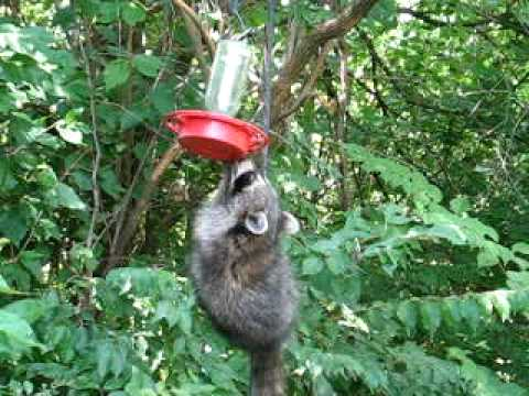 Raccoon Drinking From Hummingbird Feeder