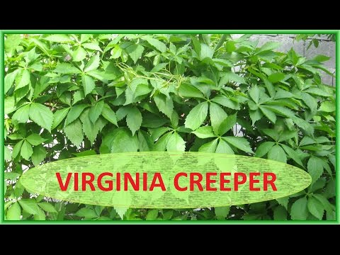 Virginia Creeper - A Beauty or a Menace Video