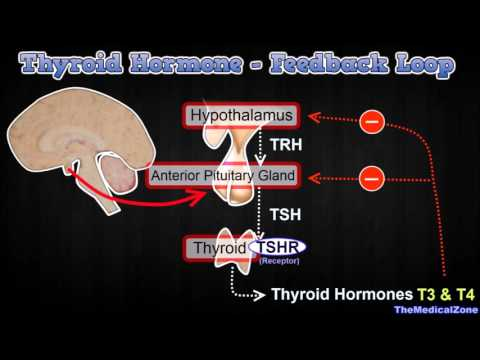 Thyroid Hormone Regulation - Negative Feedback Loop [Hypothalamus and Anterior Pitutiary]