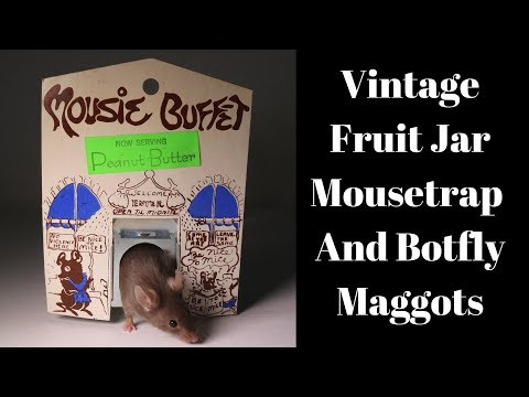 Vintage Mousie Buffet Fruit Jar Mousetrap Catches A Mouse With Botfly Maggots