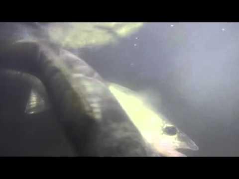 Catching Utah Walleye