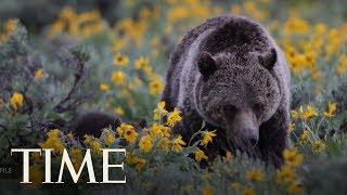 Grizzly Bear Mom Mauls Hunter After He Inadvertently Spooked Her Cub | TIME