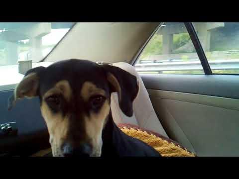 Bailey Dog Head Shaking   Idiopathic Head Tremors