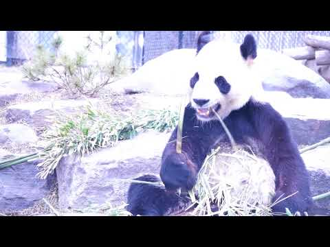 Farewell visit to the panda family in Toronto zoo