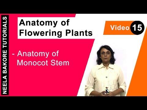 Anatomy of Flowering Plants - Anatomy of Monocot Stem