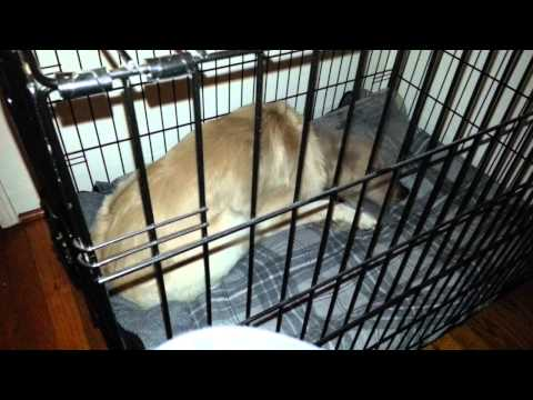 Dog Sleeping After Neuter Surgery - One Undescended Testicle (Cryptorchidism) 16 Months Old