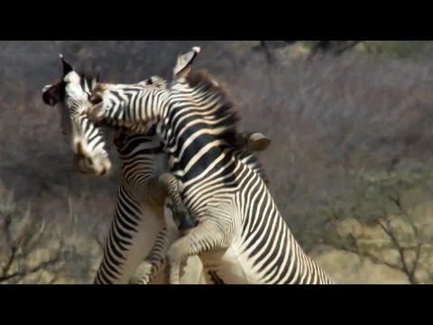 Epic Zebra Fight For Mate | Africa | BBC