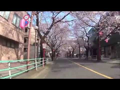 cherry blossom2015330 Fuchu Koen and mainstreet
