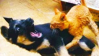 CATS VS DOGS 2017 🐶🐈🐈 Cats Annoying Dogs [Funny Pets]
