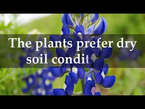 How to Grow Texas Bluebonnet Plants at home