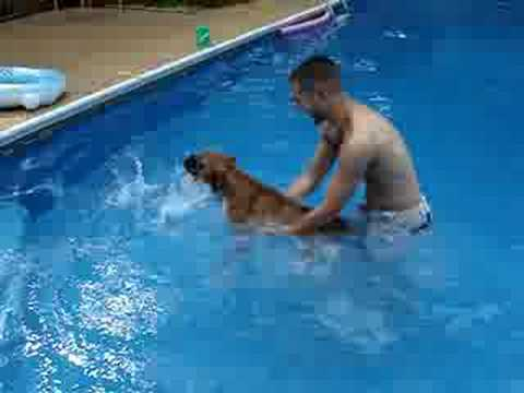 Mosley The Boxer Dog- Attempt to Swim 1