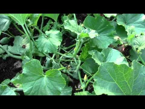 GARDEN TIPS ON KILLING BUGS ON MELONS, CUKES, AND SQUASH