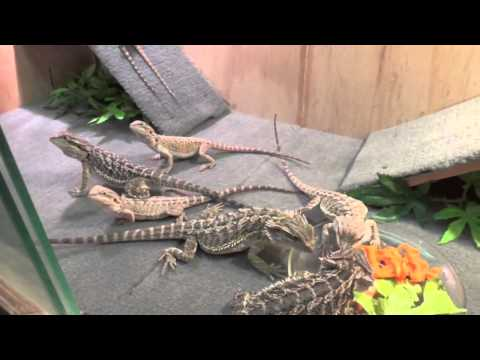 How To Get Bearded Dragons To Eat Salad