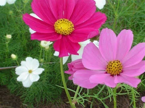 HOW TO PLANT AND CARE FOR COSMOS FLOWERS PLANT -   BY HAPPY TWIRL