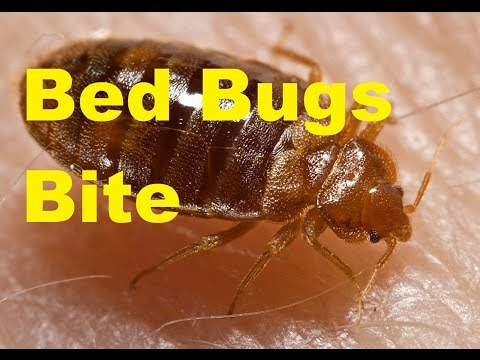 Top Cool Facts About Bed Bugs How To Get Rid Of Bed Bugs Thecoolfacts