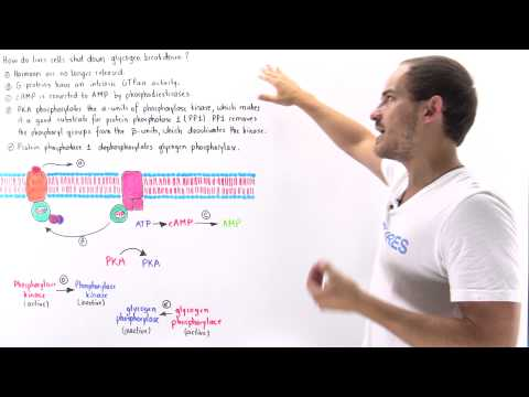 Termination of Glycogen Breakdown