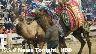 Camel Wrestling Is Real And We Went To See It In Turkey (HBO)
