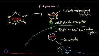 Adenovirus life cycle