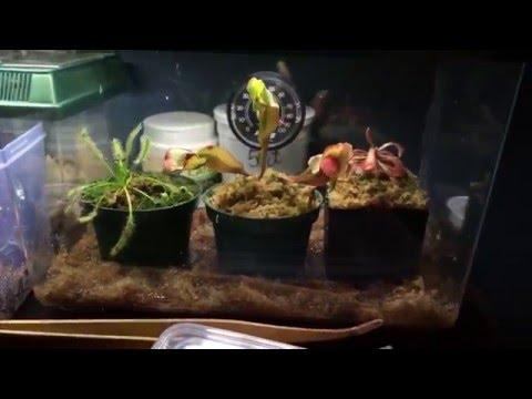 Albino Pac-Man Frog: Temporary Terrarium