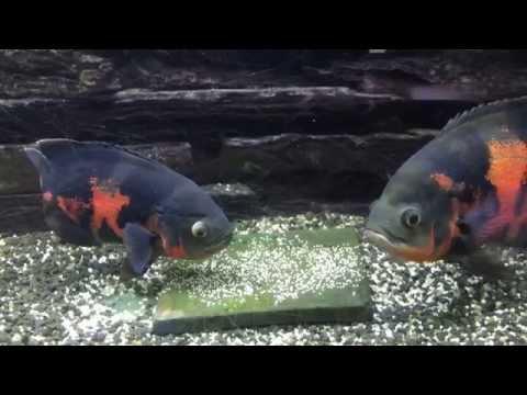 Big Oscar fish breeding laying eggs