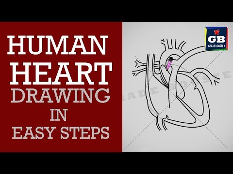 How to draw human heart in easy steps : Life processes :10th Biology :CBSE Syllabus :NCERT X Science