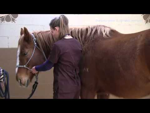 How to take a TPR (Temperature, Pulse, Respiration) in a Horse