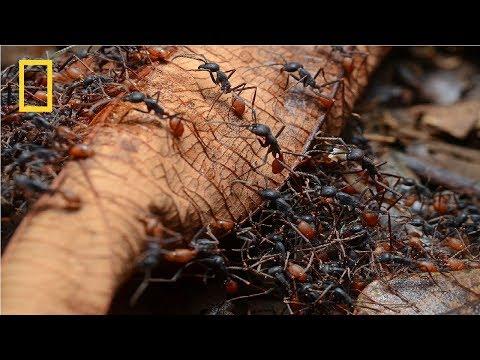 Xxx Mp4 National Geographic Army Ants BBC Wildlife Documentary 3gp Sex