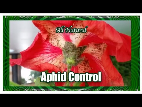 All Natural Aphid Control