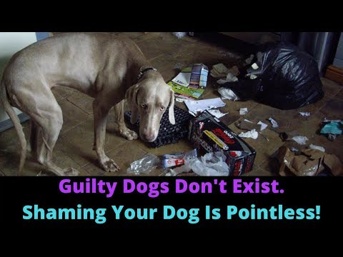 Dogs Can't Feel Guilt Or Shame! Scolding Your Dog Will Make Their Behavior WORSE!