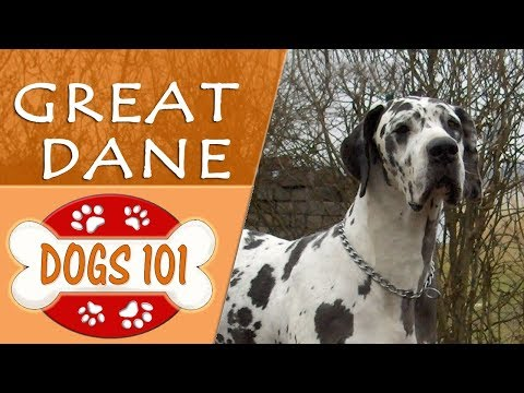 Dogs 101 - GREAT DANE - Top Dog Facts About the GREAT DANE