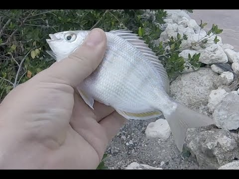 How to Catch Pinfish from the shore in The Florida Keys
