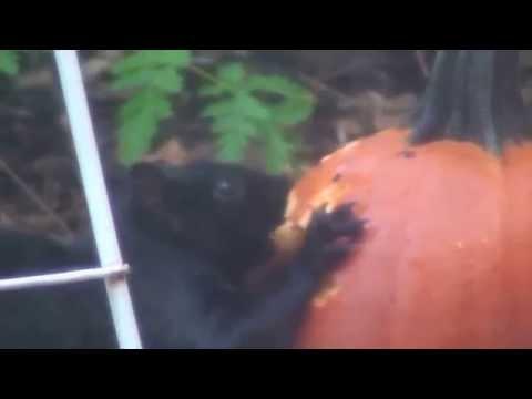 Squirrel ruins Halloween by eating pumpkin - jack - o - lantern