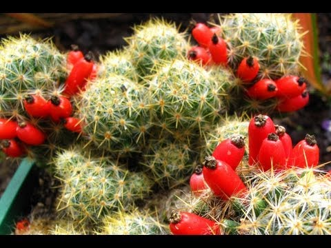 Fruiting Cacti Plants - Tasting & Growing!
