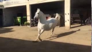 Marvari horse