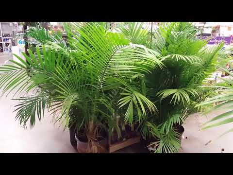 5 Tips for Indoor Palm Care