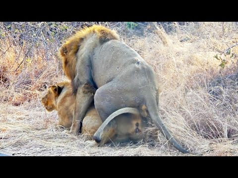 Xxx Mp4 Lions Mating Next To The Road Extreme Close Up 3gp Sex