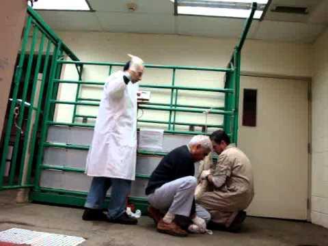 خطوات الحقن فى الغشاء البريتونى للحيوانات method of IP injection in animals