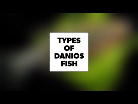 Danios Fish Types