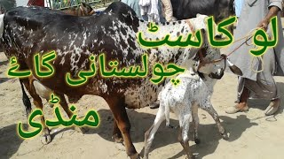 Low Rate Sahiwal Cholistani Local Desi Cow Price At Malumore Moweshi