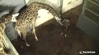 Giraffe born live on EarthCam Greenville Zoo