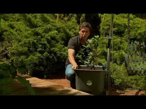 The Garden Gurus - Citrus Trees in Pots