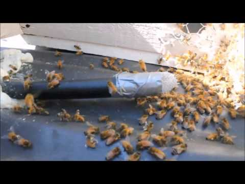 How I  Conduct a Trap Out to Save A Colony Of Bees