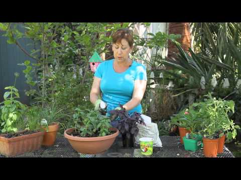 How to Remove Bugs From Basil Leaves : Garden Space