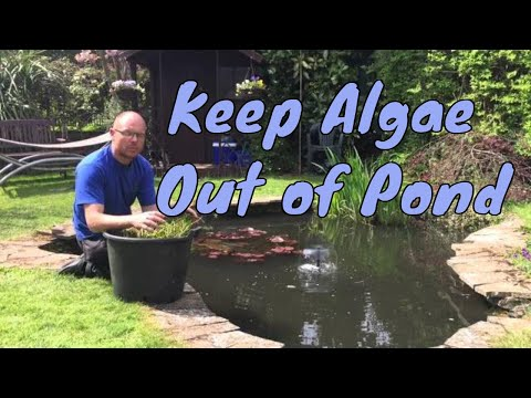 How to keep algae out of your garden pond | No Filtration | UK