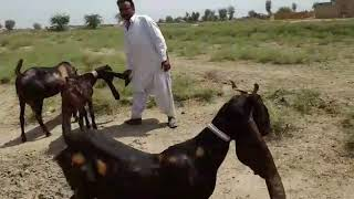 kamori goat Videos - 9videos tv