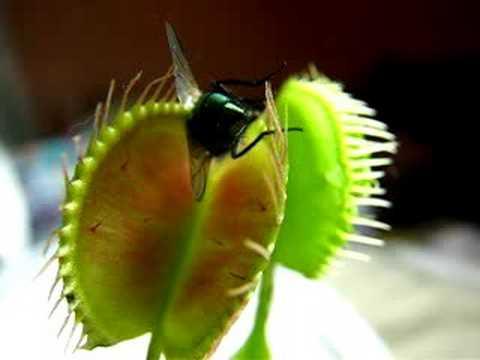 Venus Flytrap eating a Fly alive!