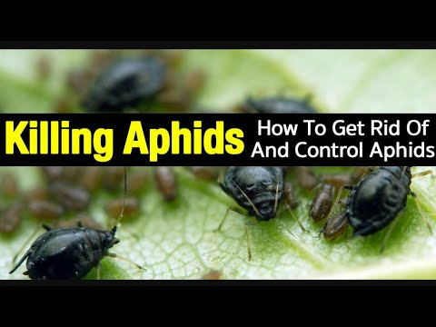 How to kill Aphids?How to make insecticides? Hindi/Urdu