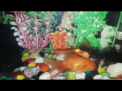 Goldfish fry eggs hatching