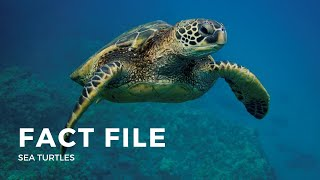 Facts about the Sea Turtle
